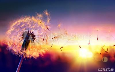Fototapeta Dmuchawiec w promieniach słońca (107327055)