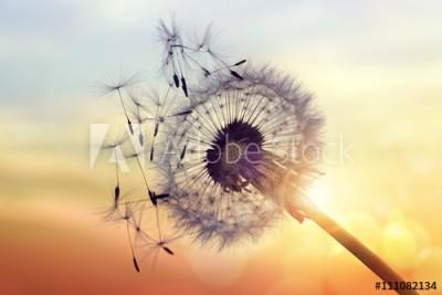 Fototapeta Dmuchawiec na tle słońca (111082134)