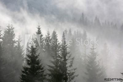 Fototapeta Sosnowy las we mgle (122477348)