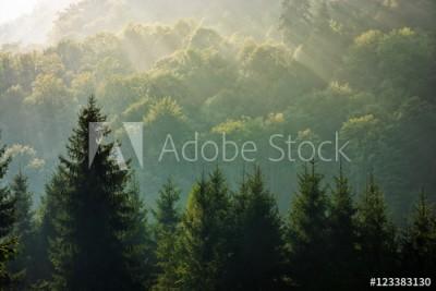 Fototapeta Wschód słońca nad zamglonym świerkowym lasem w górach ( 123383130)