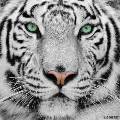 Fototapeta Biały tygrys (13468757)