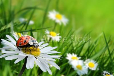 Fototapeta Biedronka na kwiatku (14419228)