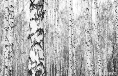 Fototapeta Czarno-białe zdjęcie brzozowego gaju (152658873)