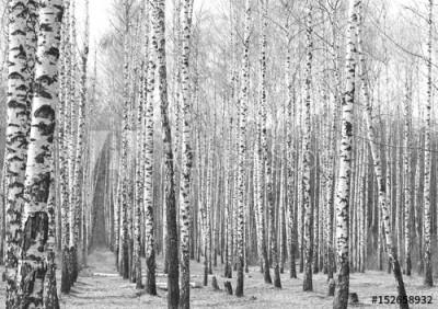 Fototapeta Gaj z drzewami brzozy (152658932)