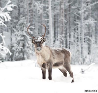 Fototapeta Renifer w śniegu (19832893)