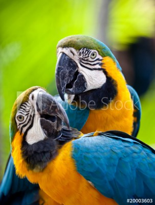 Fototapeta Piękne kolorowe papugi (20003603)