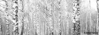Fototapeta Drzewa brzozy (206876834)