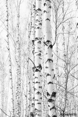 Fototapeta Drzewa brzozy w gaju (206876850)