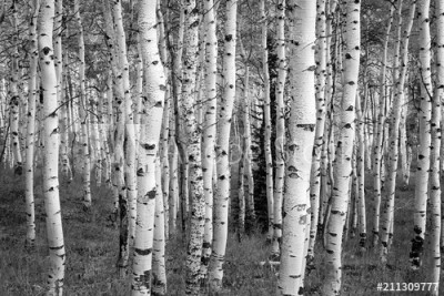 Fototapeta Czarno-białe brzozy (211309777)