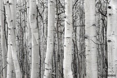 Fototapeta Czarno-białe brzozy (211949968)