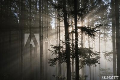 Fototapeta Promienie słońca w mglistym lesie (216427277)