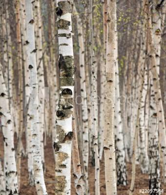 Fototapeta Brzozy w lesie (22097564)