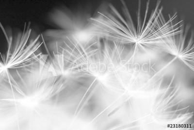 Fototapeta Zbliżenie na nasiona dmuchawca (23180311)