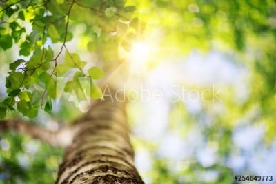 Fototapeta Brzoza z zielonymi liśćmi (254649773)