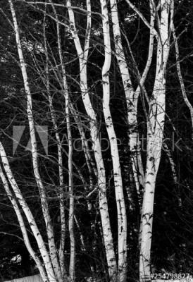 Fototapeta Brzozowe drzewa na czarnym tle (254798827)