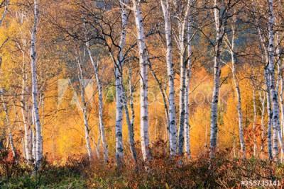 Fototapeta Drzewa brzozy na jesień (255735141)