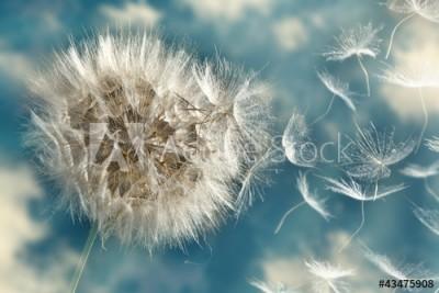 Fototapeta Dmuchawiec traci nasiona na wietrze (43475908)