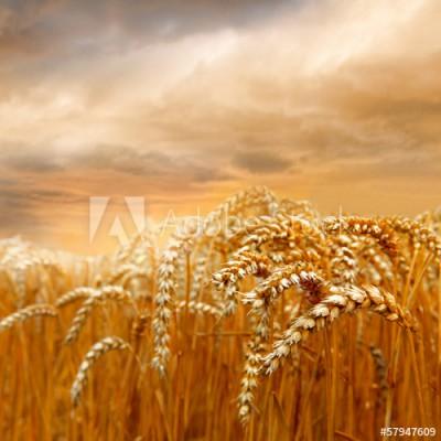 Fototapeta Dojrzałe pole pszenicy (57947609)