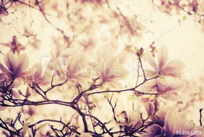 Fototapeta Magnolia (63061289)