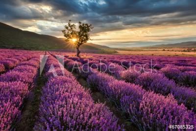 Fototapeta Oszałamiający krajobraz z lawendowym polem przed wschodem słońca (67085325)