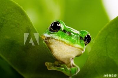 Fototapeta Żaba zerkająca za liścia (6748285)