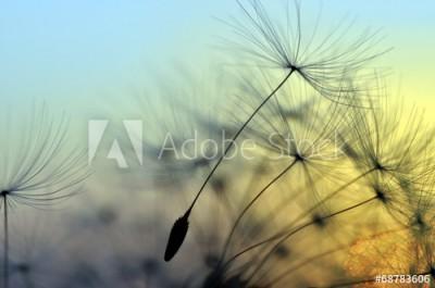 Fototapeta Unoszące się nasiona dmuchawca (68783606)