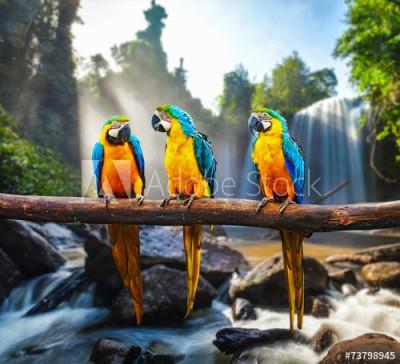 Fototapeta Trzy papugi (73798945)