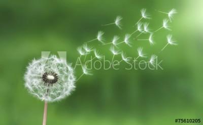 Fototapeta Dmuchawiec z odlatującymi nasionami (75610205)