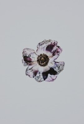 Plakat Zasuszony kwiat maku