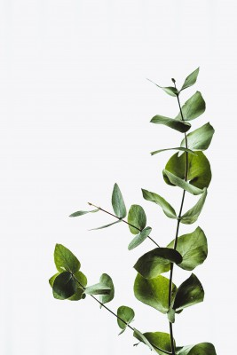 Plakat Drobne liście eukaliptusa