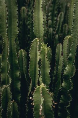Plakat Kaktusy