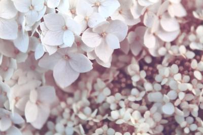Plakat Kwiaty bzu pachnącego