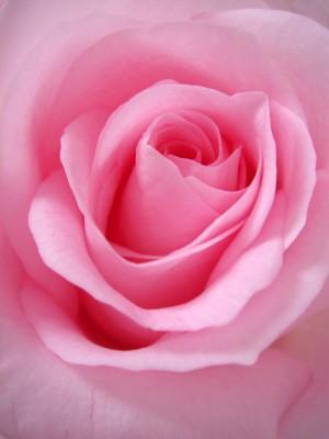 Plakat Różowy kwiat róży