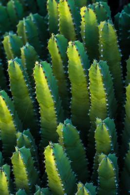 Plakat Strzeliste kaktusy