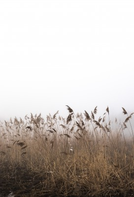 Plakat Trzcina we mgle