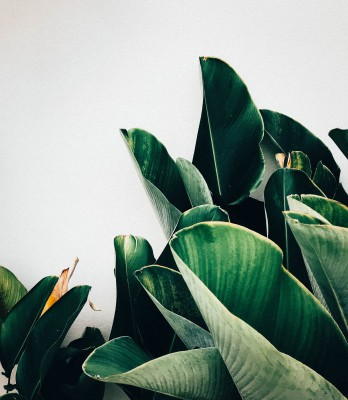 Plakat Zielone liście bananowca