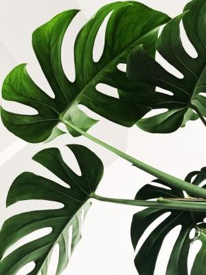Plakat Zielone liście monstery
