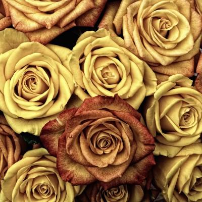 Plakat Żółte róże