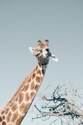 Plakat Żyrafa